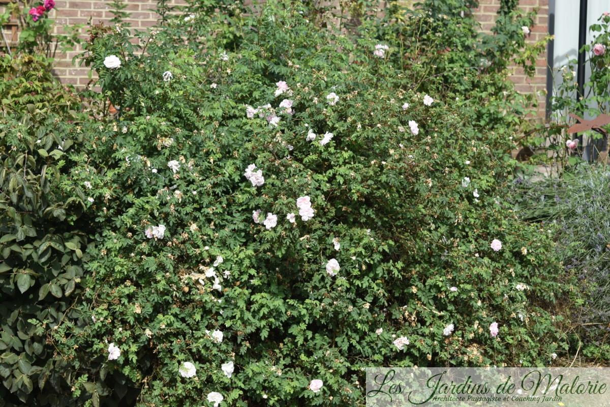 rosier 'Stanwell Perpetual' (remontée mi août)