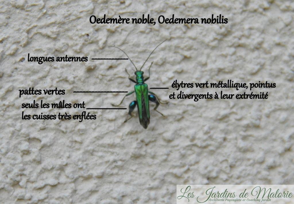 insecte, Oedemère noble, Oedemera nobilis, mâle avec ses gros mollets