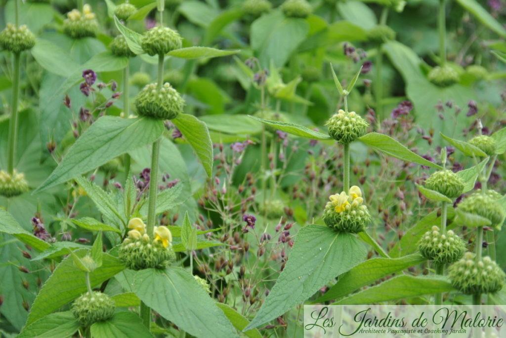 phlomis russeliana et géranium phaeum
