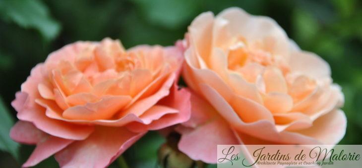 ❤ ❤  Focus sur le rosier 'Marie Curie'
