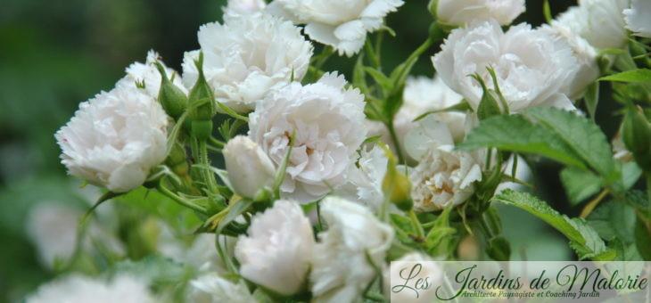 ❤ ❤  Focus sur le rosier 'White Grootendorst'