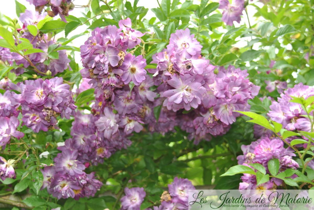 rosier 'Veilchenblau'