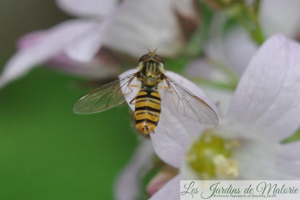 insecte: un syrphe (sauf erreur de ma part Episyrphus balteatus adulte) sur une campanule 'Loddon Anna'