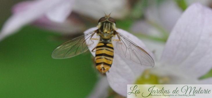 Syrphes et larves de syrphes, qui êtes-vous?