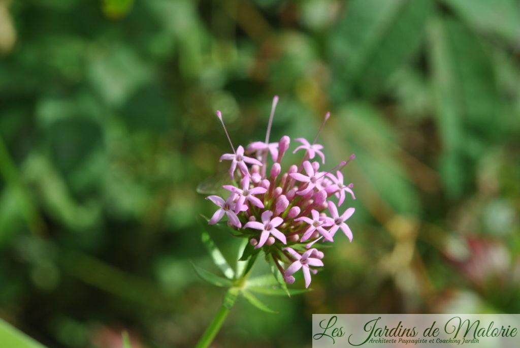 Phuopsis Stylosa (cruccianella)