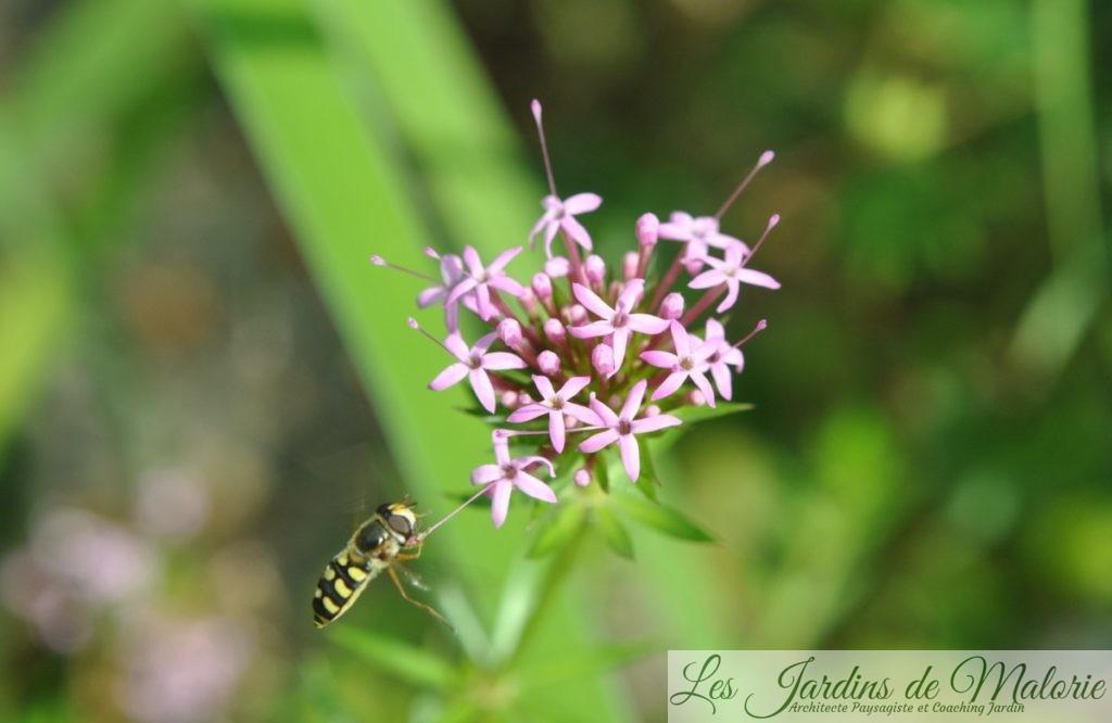 un syrphe butine Phuopsis Stylosa (cruccianella)