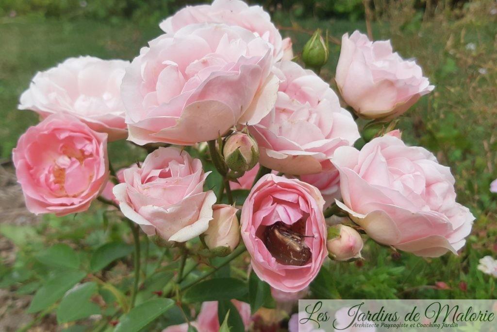 rosier 'Jardin de Valloires', avec une cétoine dorée au coeur d'une rose