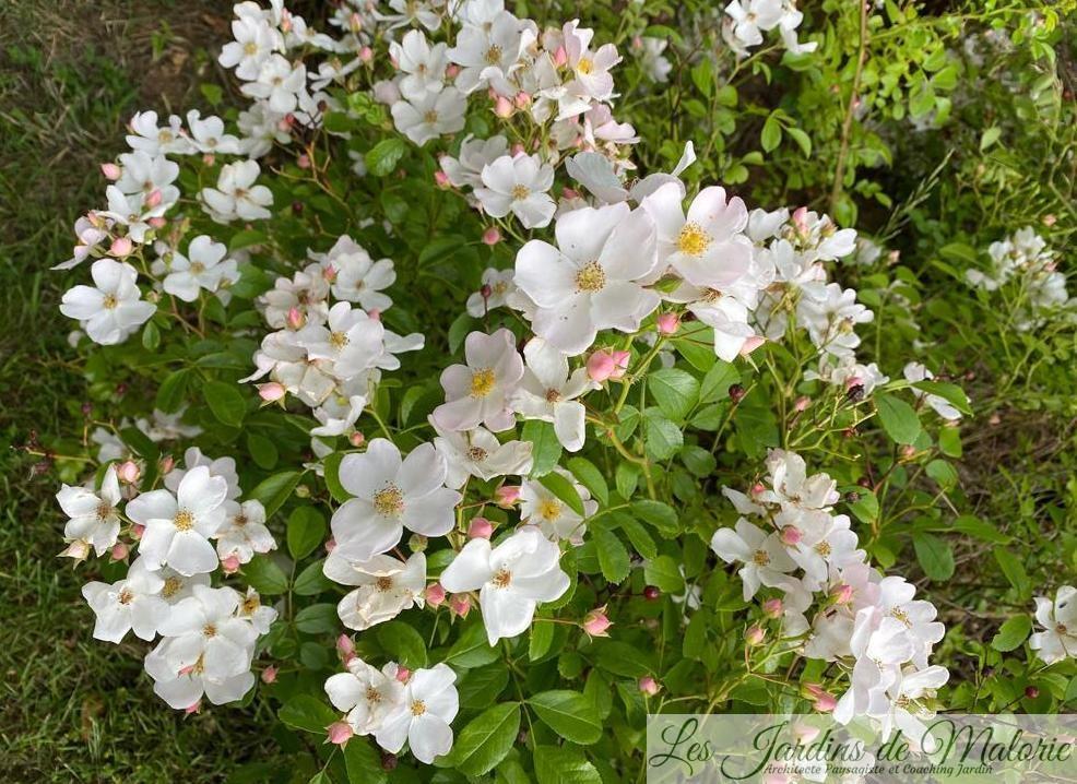 rosa 'Apfelblute'