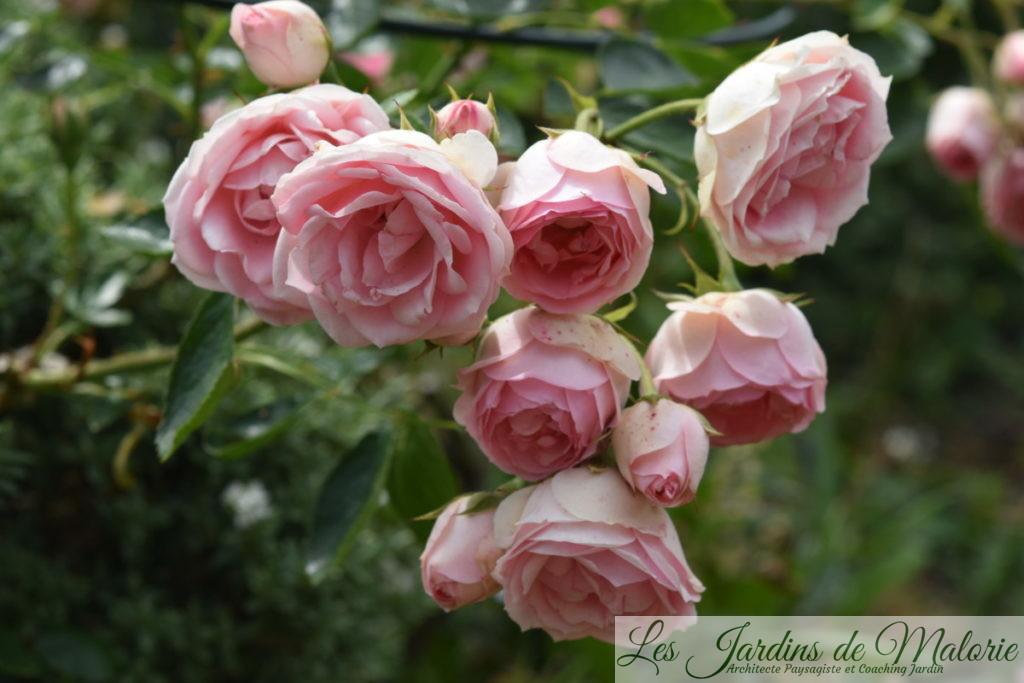 rosier 'Jardin de Valloires'