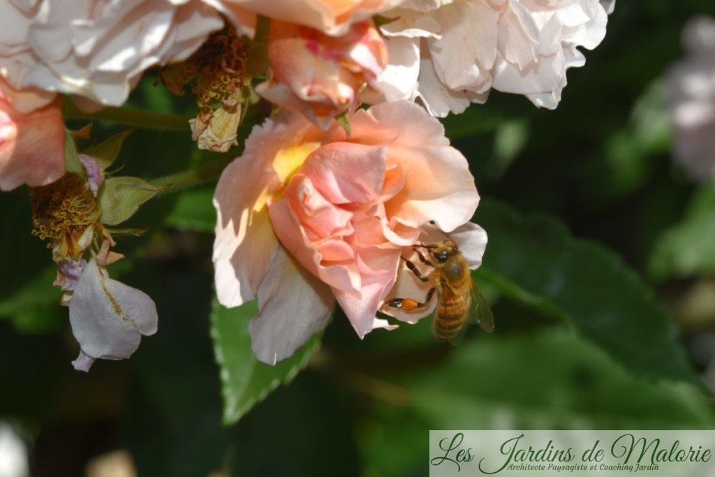 rosier 'Cornélia'