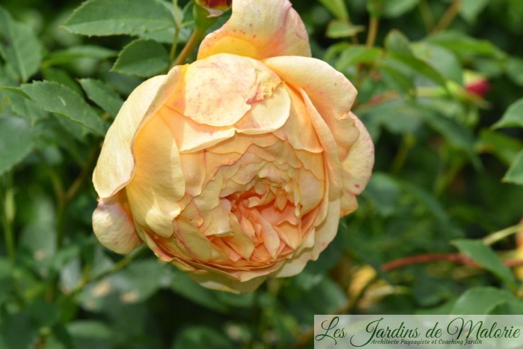 rosier 'Lady of Shalott' (fanaison)