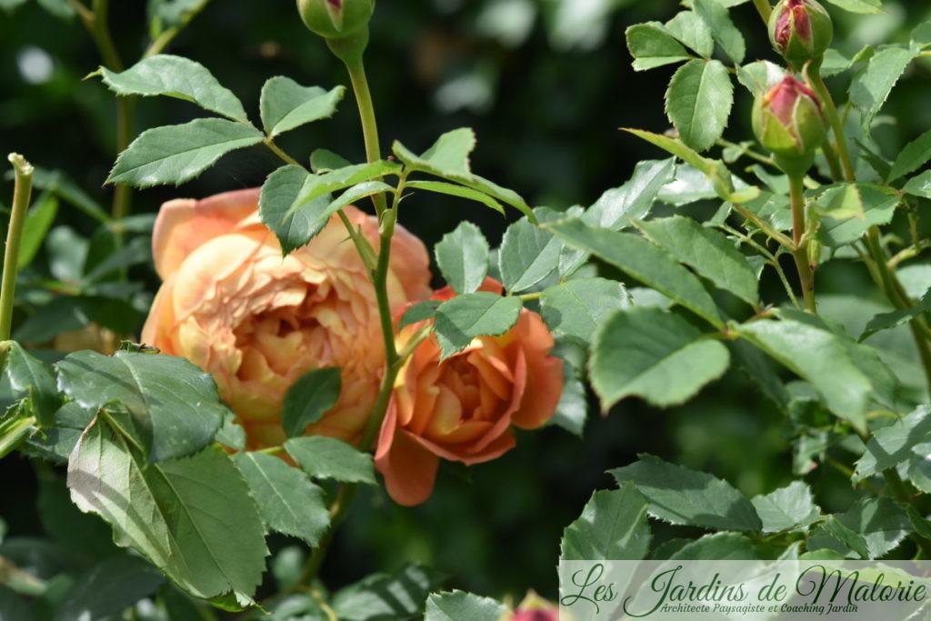 rosier 'Lady of Shalott', un feuillage sain