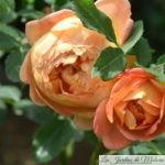❤ ❤ ❤ ❤ Focus sur le rosier 'Lady of Shalott'