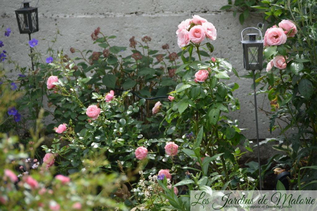 rosier 'Bouquet de mariée'