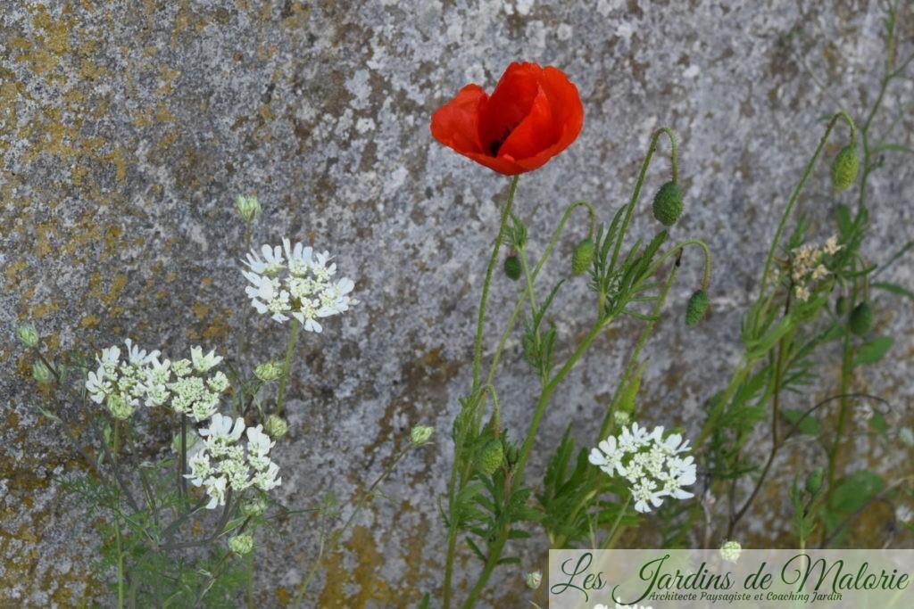 coquelicots et orlaya grandiflora