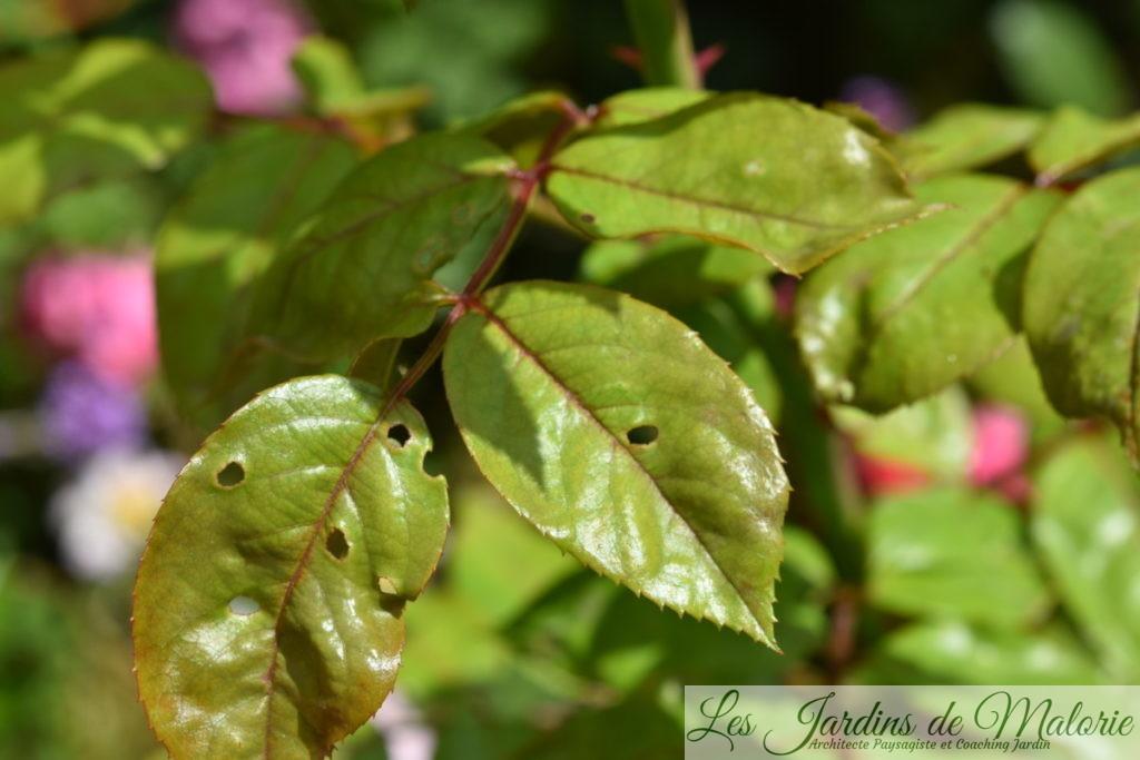 certaines feuilles de rosiers qui ont des petits trous (dégâts des tenthrèdes limaces)