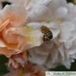 Le rosier 'Cornélia', très courtisé...