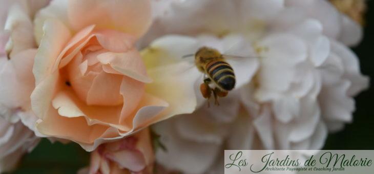 Le rosier 'Cornélia', très courtisé…