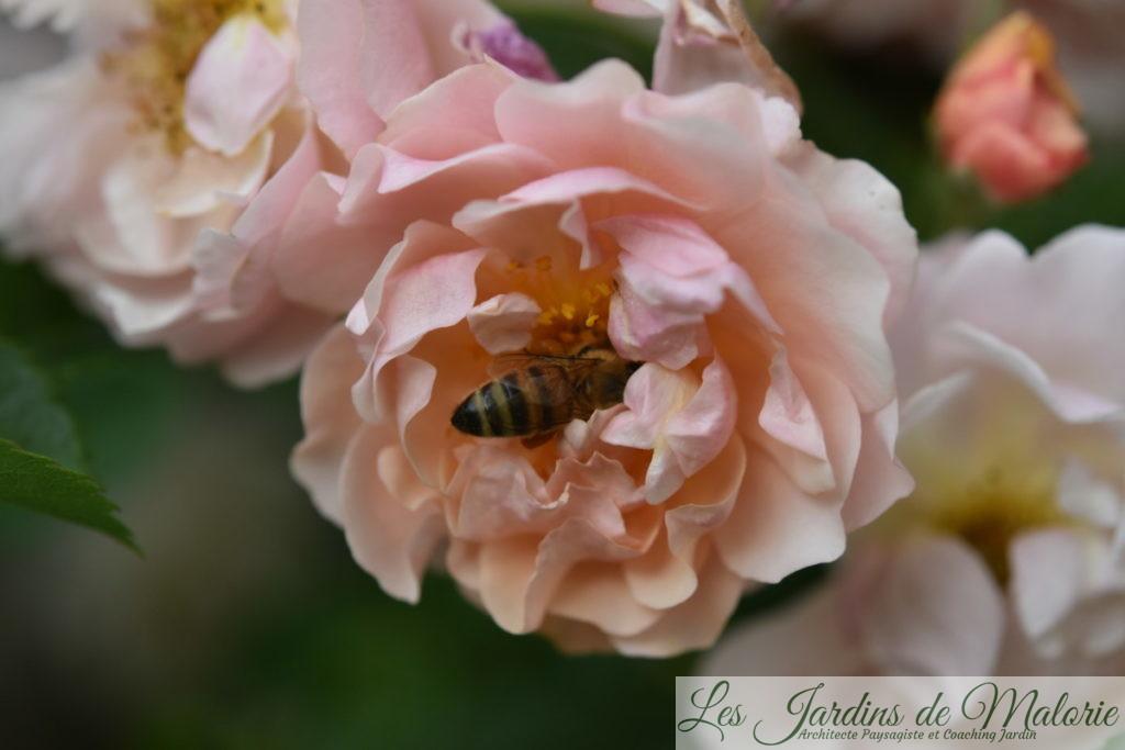 rosa 'Cornélia'