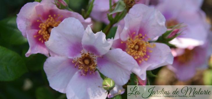 ❤ ❤ Focus sur le rosier 'Laila'