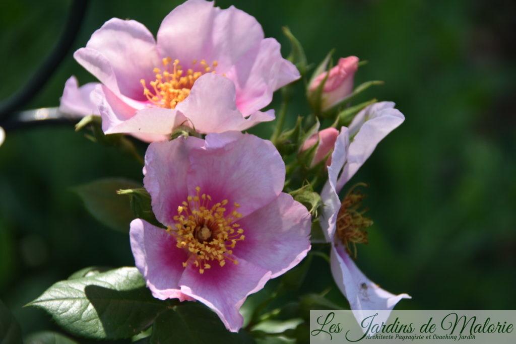 rosa orienta 'Laila'