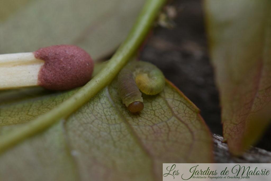 larve de tenthrède limace du rosier