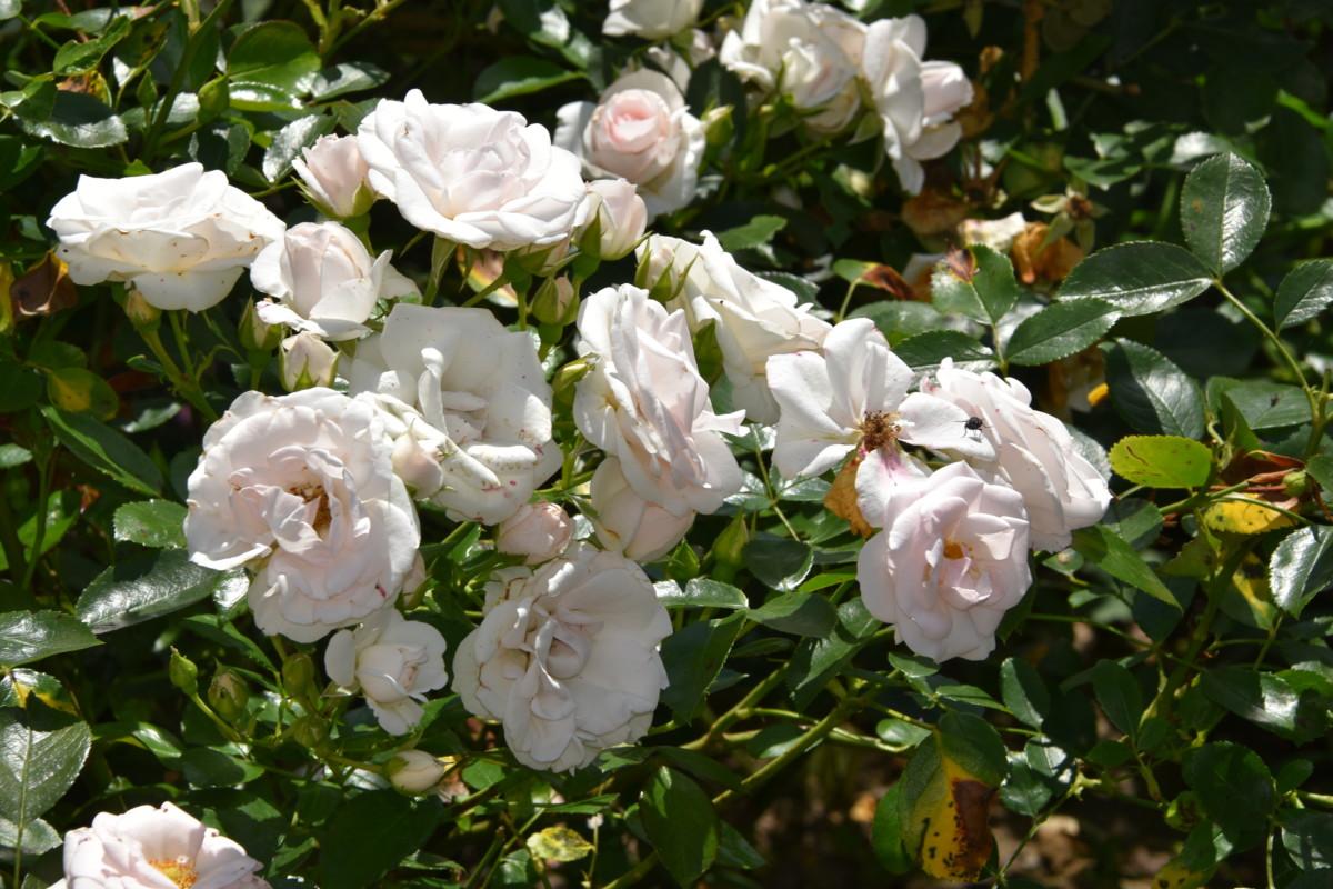rosier 'Aspirin rose'