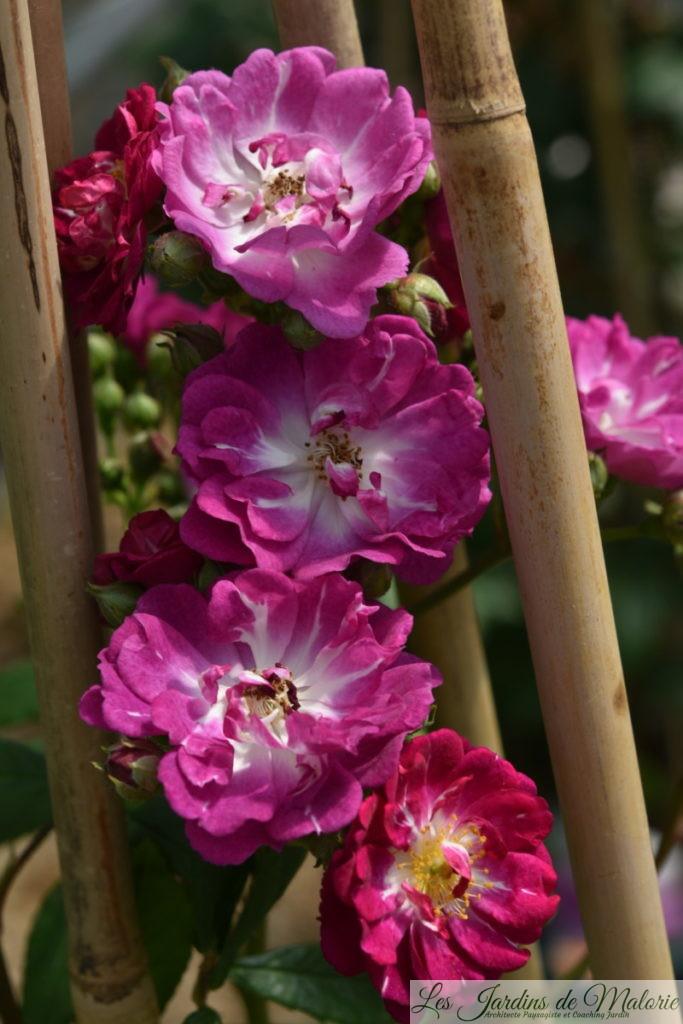 rosier 'Perennial Blue'