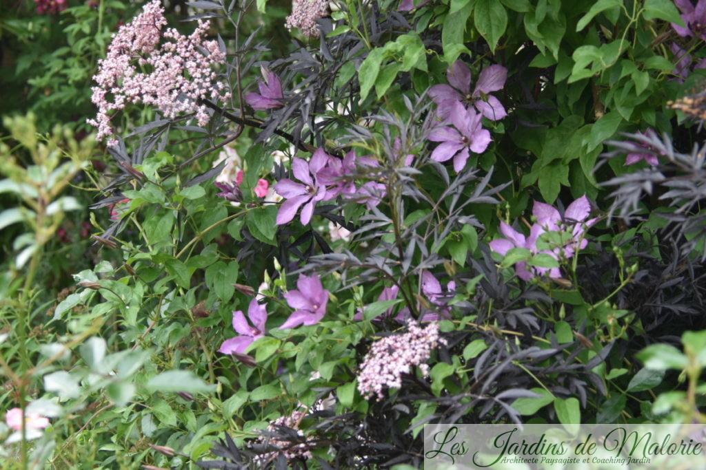 Clématite 'Margareth Hunt' dans le sambucus nigra 'Black Lace'
