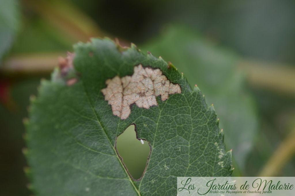 sur une feuille de rosier, seule la face inférieure du limbe est grignotée et il reste une pellicule transparente