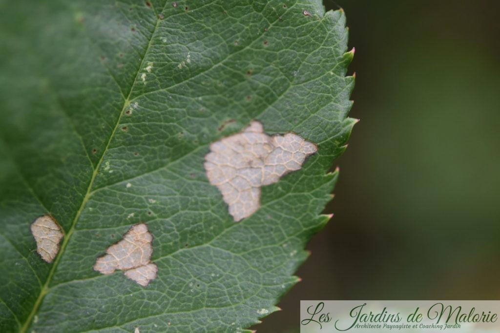 dégâts des tenthrèdes limaces