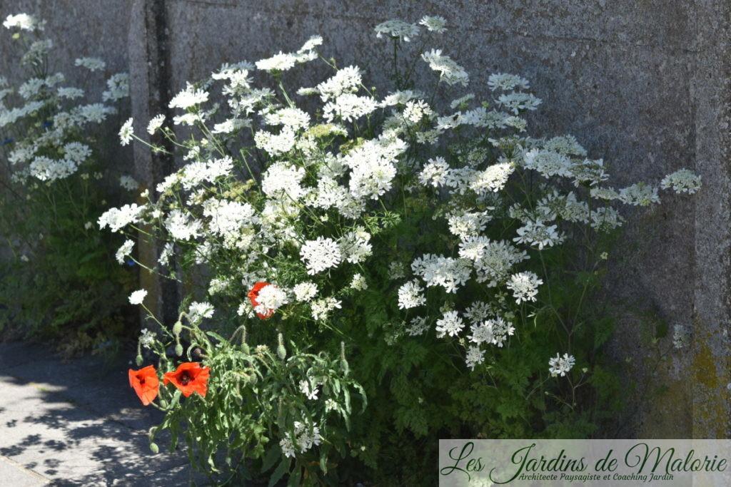 orlaya grandiflora et coquelicot