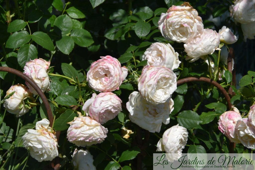 rosier 'André Brichet'