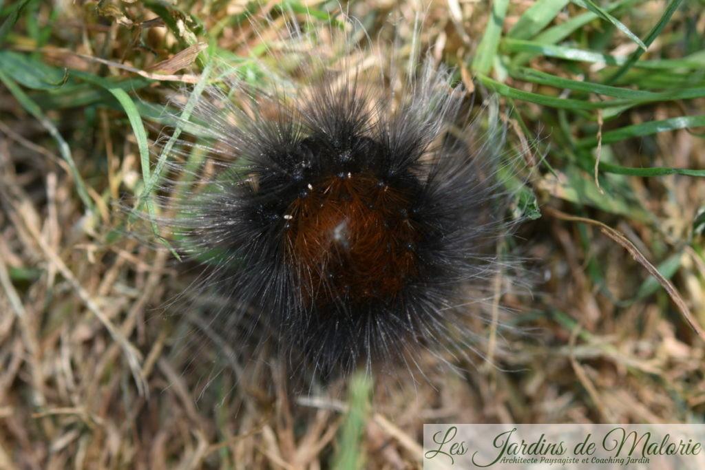 Chenille de l'écaille martre, de la famille des Arctiidae. (chenille oursonne)