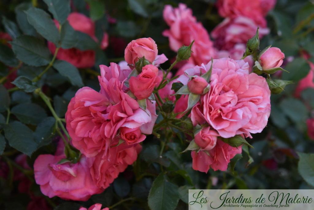rosa 'Rosarium Uetersen', Obtenteur: Kordes