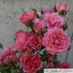 ❤ ❤ Focus sur le rosier 'Rosarium Uetersen'