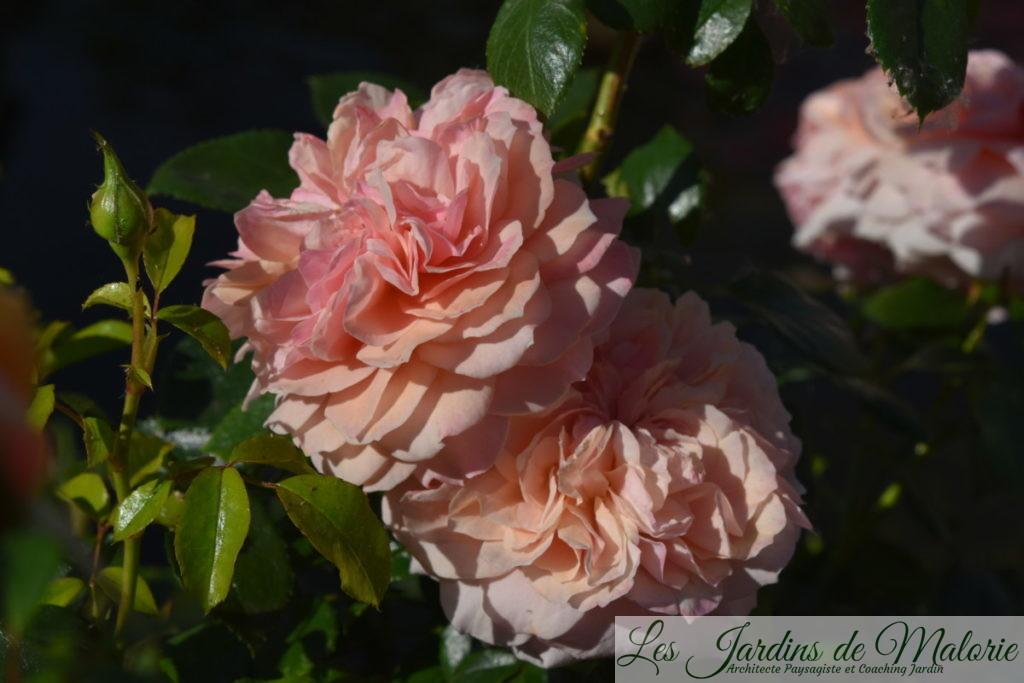 rosier 'Garden of roses'