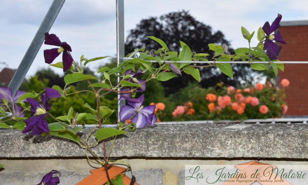 clématis 'Etoile Violette'