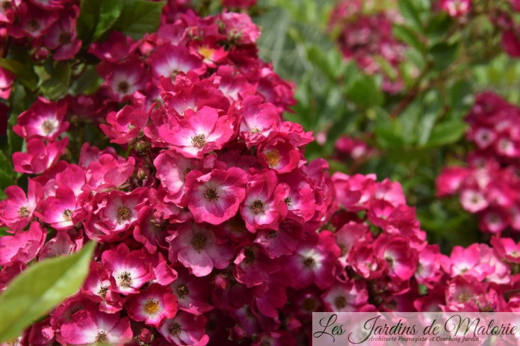rosa 'Ballerina Red' (Marjorie Fair),