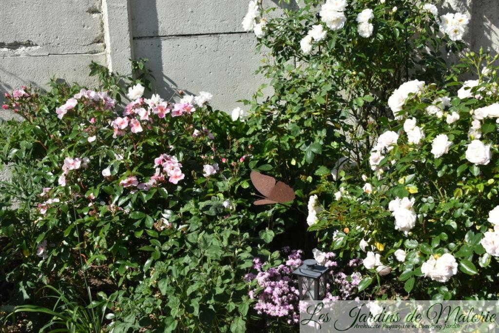 rosiers 'Astronomia' (Sweet Pretty), 'Iceberg' et 'Aspirin rose'