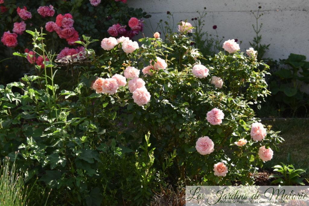 rosier 'Garden of roses' et 'Rosarium Uetersen'