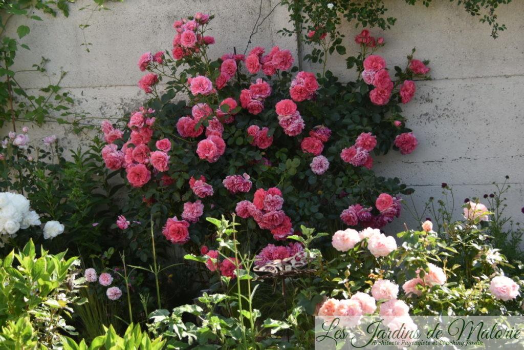 rosier 'Rosarium Uetersen'