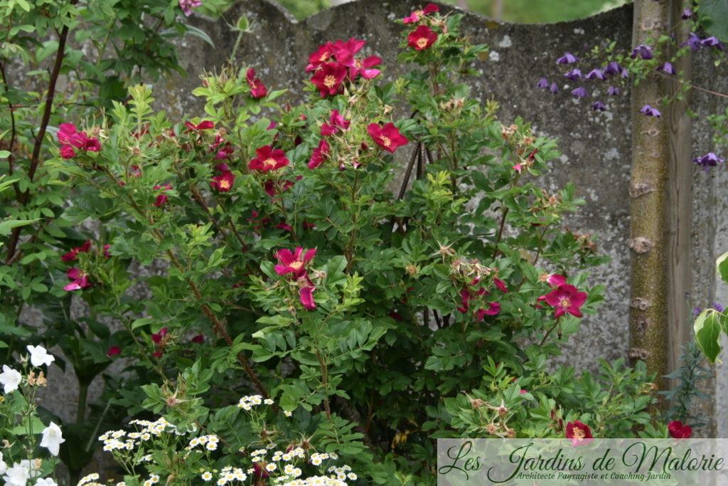 rosier 'Ann Endt'