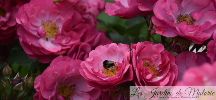 ❤ ❤ Focus sur le rosier 'Entente cordiale'