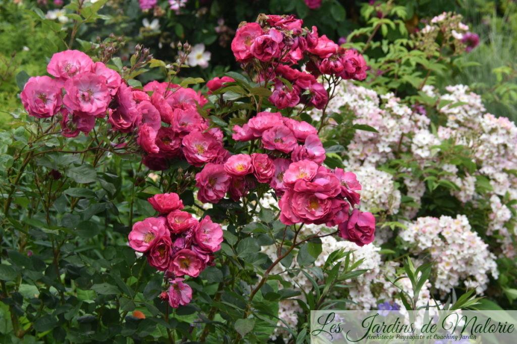 rosier 'Entente cordiale' (obtention de Jean-Lin Lebrun)