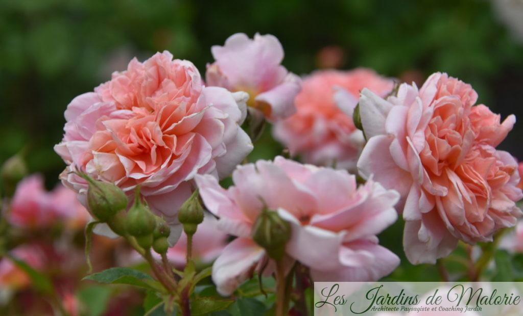 rosa 'Colette'