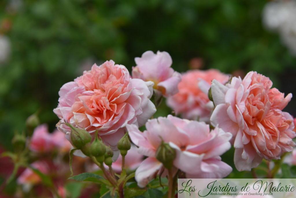 rosier 'Colette'