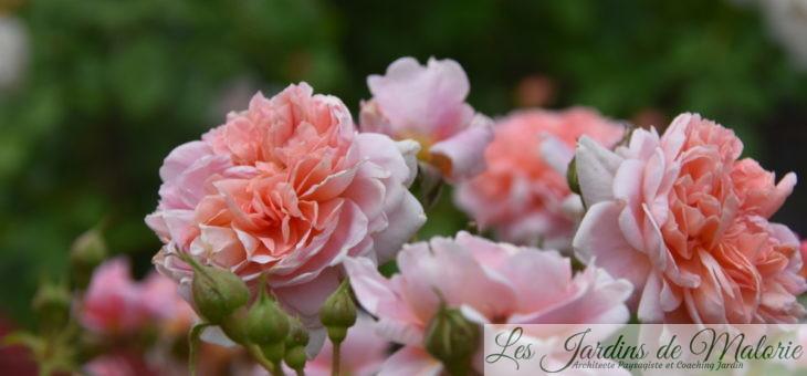 ❤ ❤ ❤Focus sur le rosier 'Colette'
