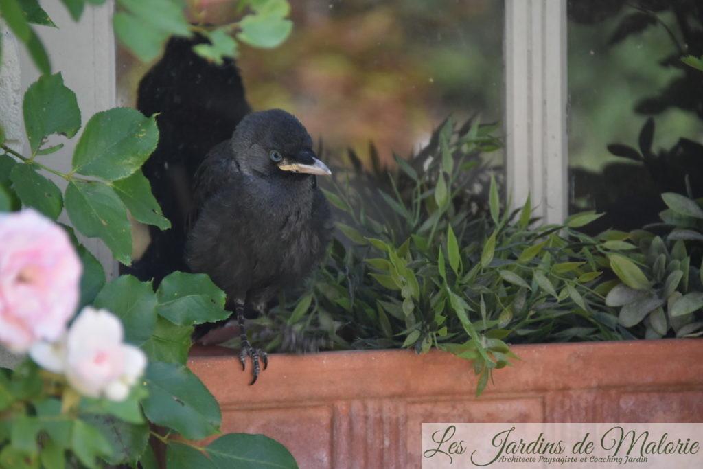 oiseau de la famille des corvidés, juvénile, sauf erreur, un jeune Choucas des Tours