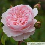 ❤ ❤ ❤  Focus sur le rosier 'Wisley 2008'